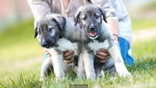 wolf-hound-twin-puppies-1