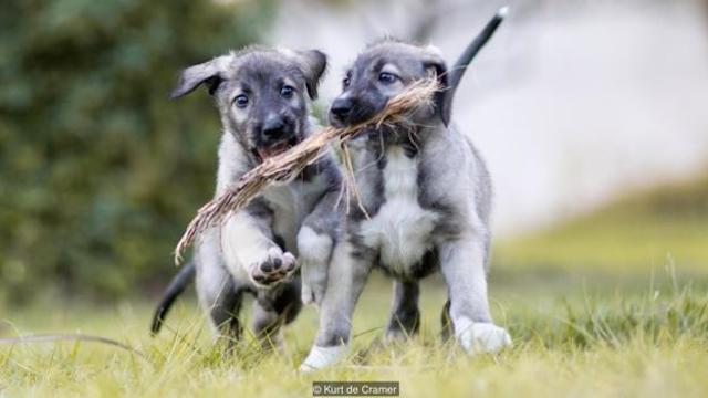 wolf-hound-twin-puppies