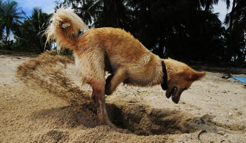Dog digging on beach