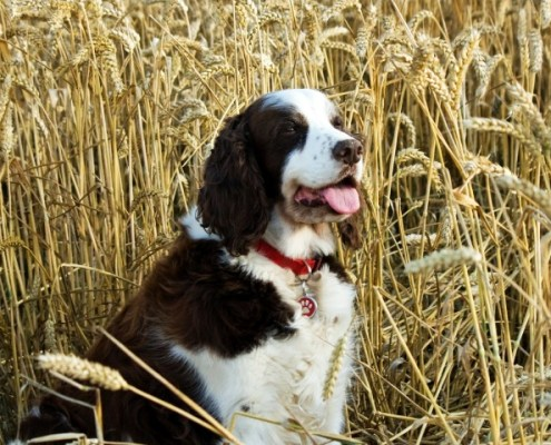 dog-in-grain-field