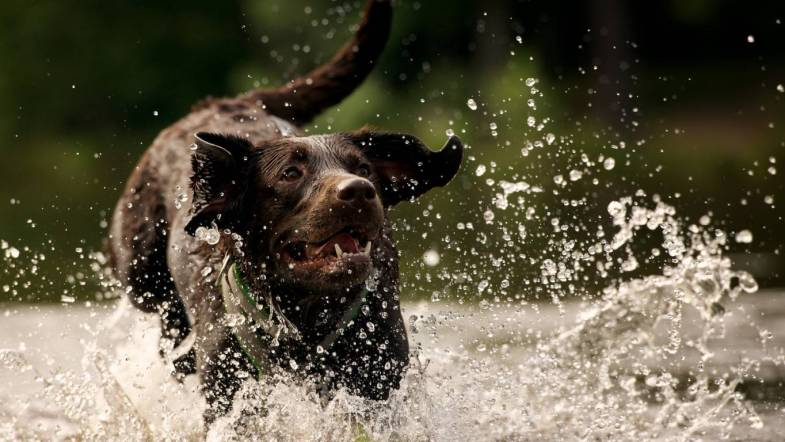 choc lab running in water