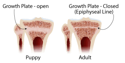 puppy-bone-growth-plate