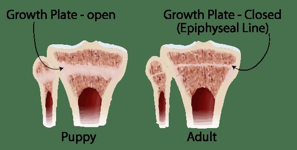 puppy-bone-growth-plate