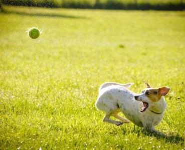 jack russel turning for ball