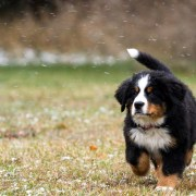 Bearnise Puppy running on grass