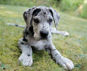 dane-puppy