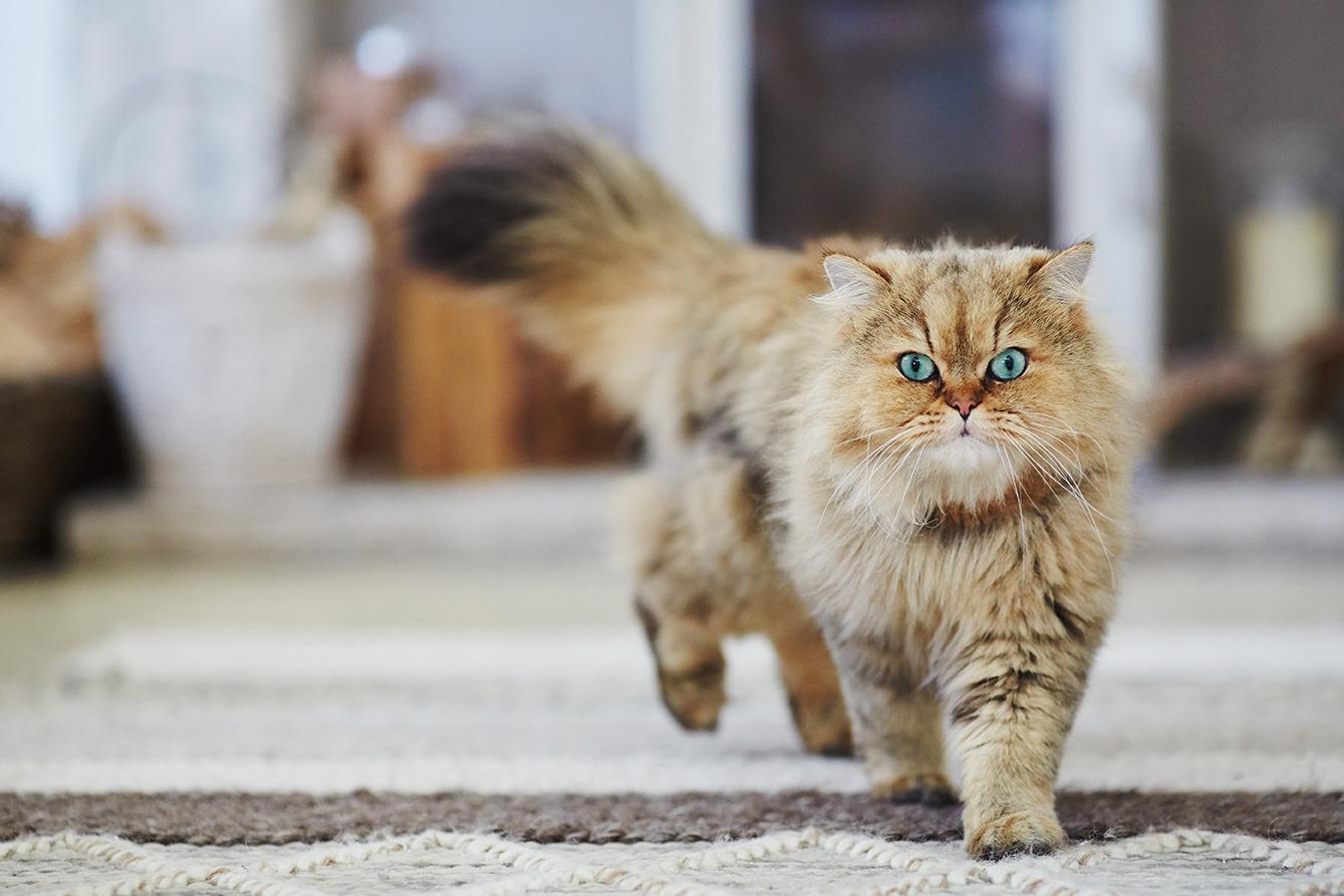 Turquoise eyed cat