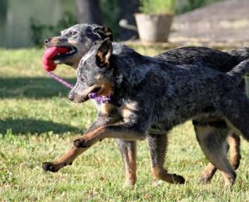 Australian cattle dogs sharing kong