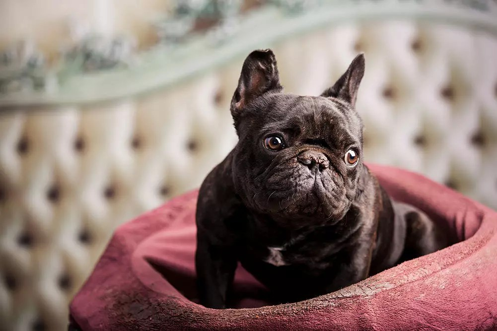 Top 10 Best Dog Beds For French Bulldogs In 2019
