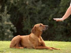 teaching a dog to stay