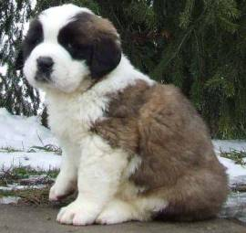 Top 10 Cutest Puppy Breeds 2019 3