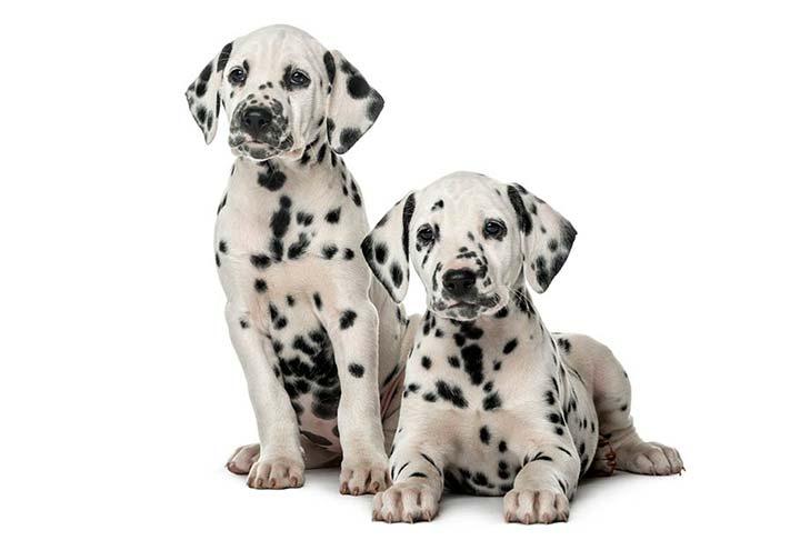 Two Dalmatian puppies
