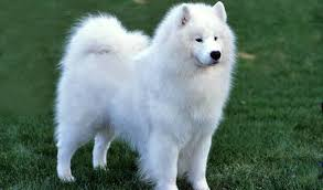 The Top 10 Most Expensive Dog Breeds 2019 11