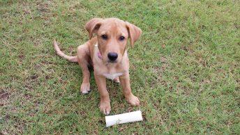 beagador puppy