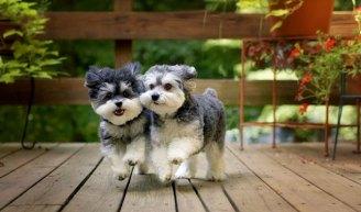 Dog Breed Malitpoo