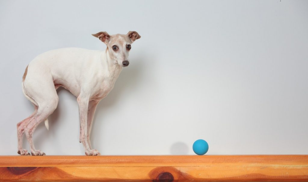 Why are my Greyhound back leg's shaking? – Dogs Whisperer