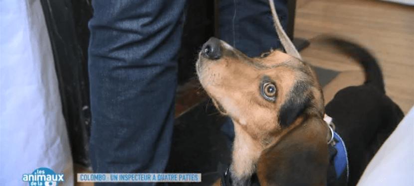 Reportage sur Columbo et la détection canine des punaises de lit dans: «Les animaux de la 8» sur C8