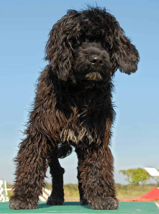 Portuguese Water Dog Brown And White : portuguese, water, brown, white, Portuguese, Water, Temperament:, Lover?
