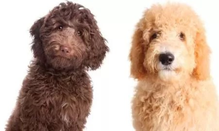 Goldendoodle vs Labradoodle: Your Complete Guide
