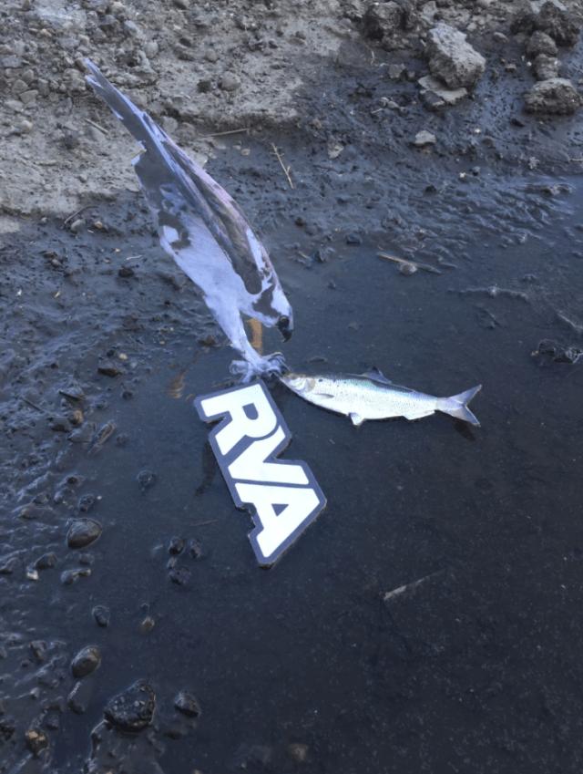 Manchester RVA Pothole Osprey