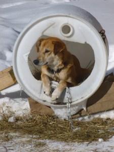 sled dog Deerhurst