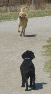 two dogs in dog park, Guelph, Ontario