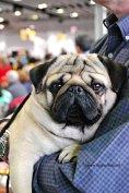 WKC Dog Show Breed Judging 3