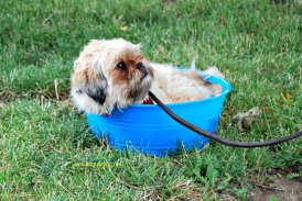 Little dog takes a dip in the water dish Muddy Paws Festival