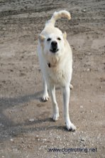 Giiffen farm dog