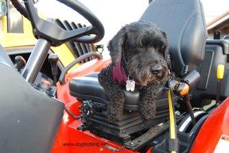 dog on tractor at Rockton Fall Fair dogtrotting.net
