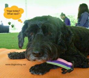 dog during dog yoga class Veg Food Fest Toronto dogtrotting.net