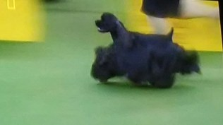 Black cocker spaniels at Westminster dog show