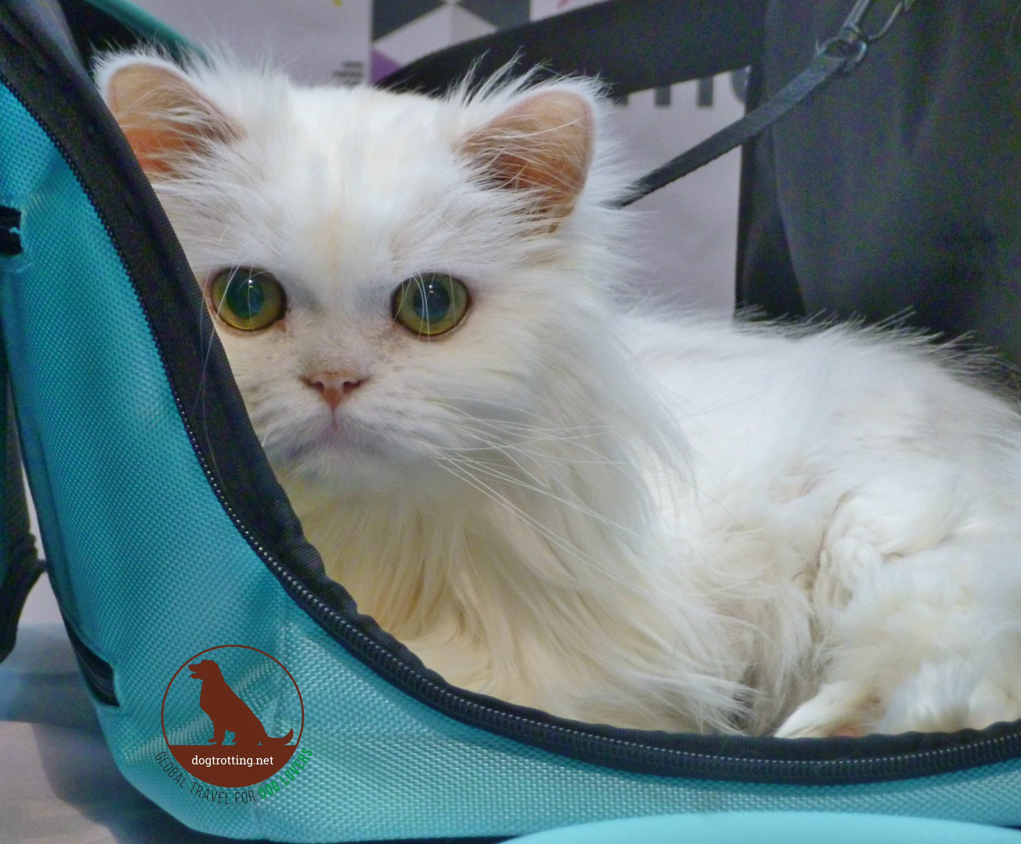 white cat at meowfest 2019
