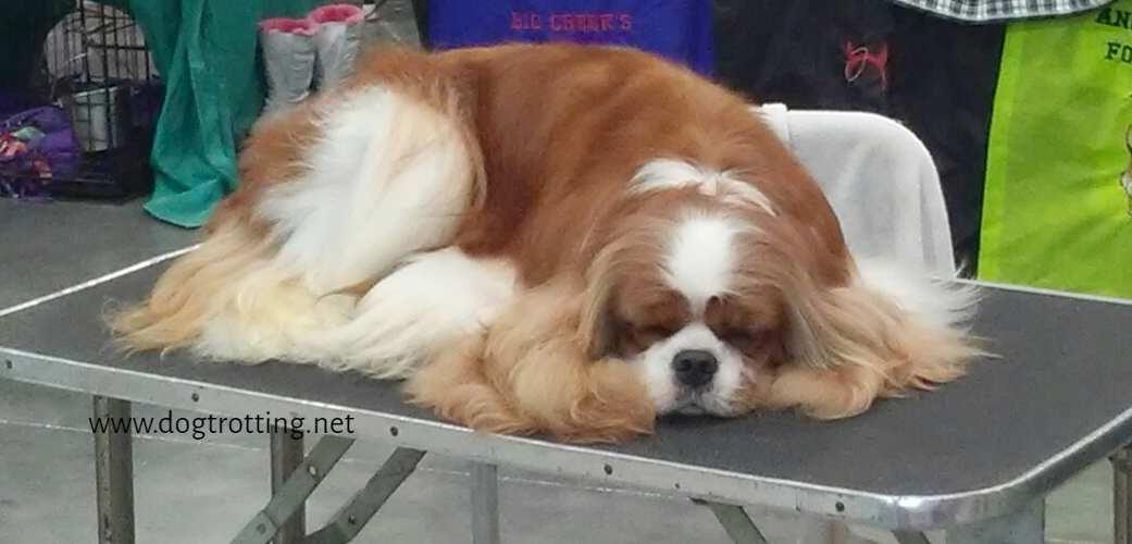 King Charles Spaniel sleeping at The Michigan Winter Dog Classic dog show
