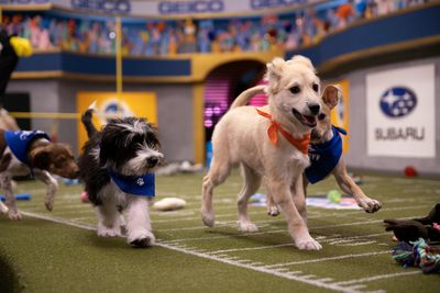 two dogs playing in Puppy Bowl XVI on Animal Planet