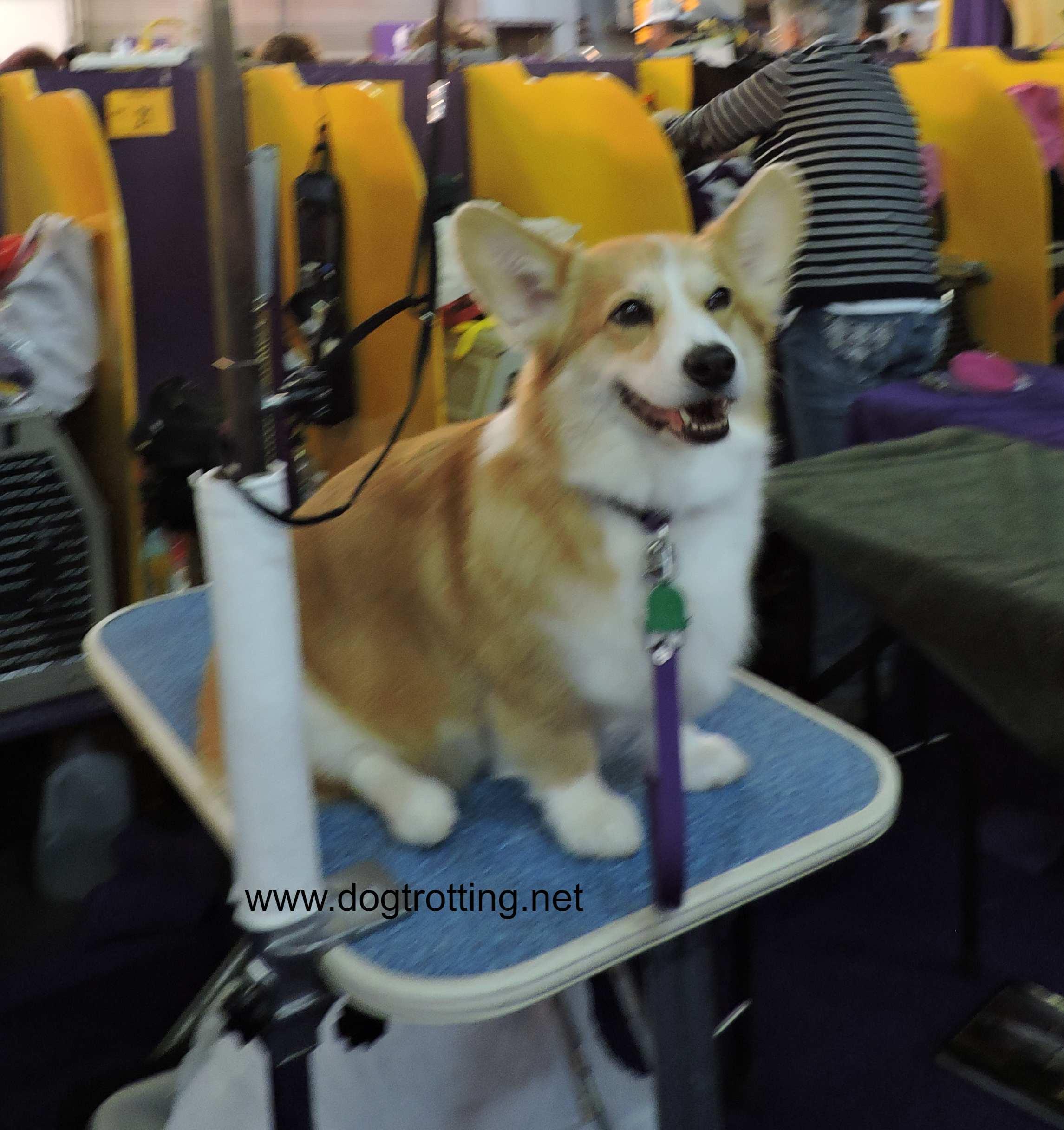 corgi dog at Westminster Dog Show 2020