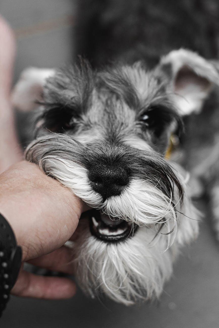 grey dog chewing