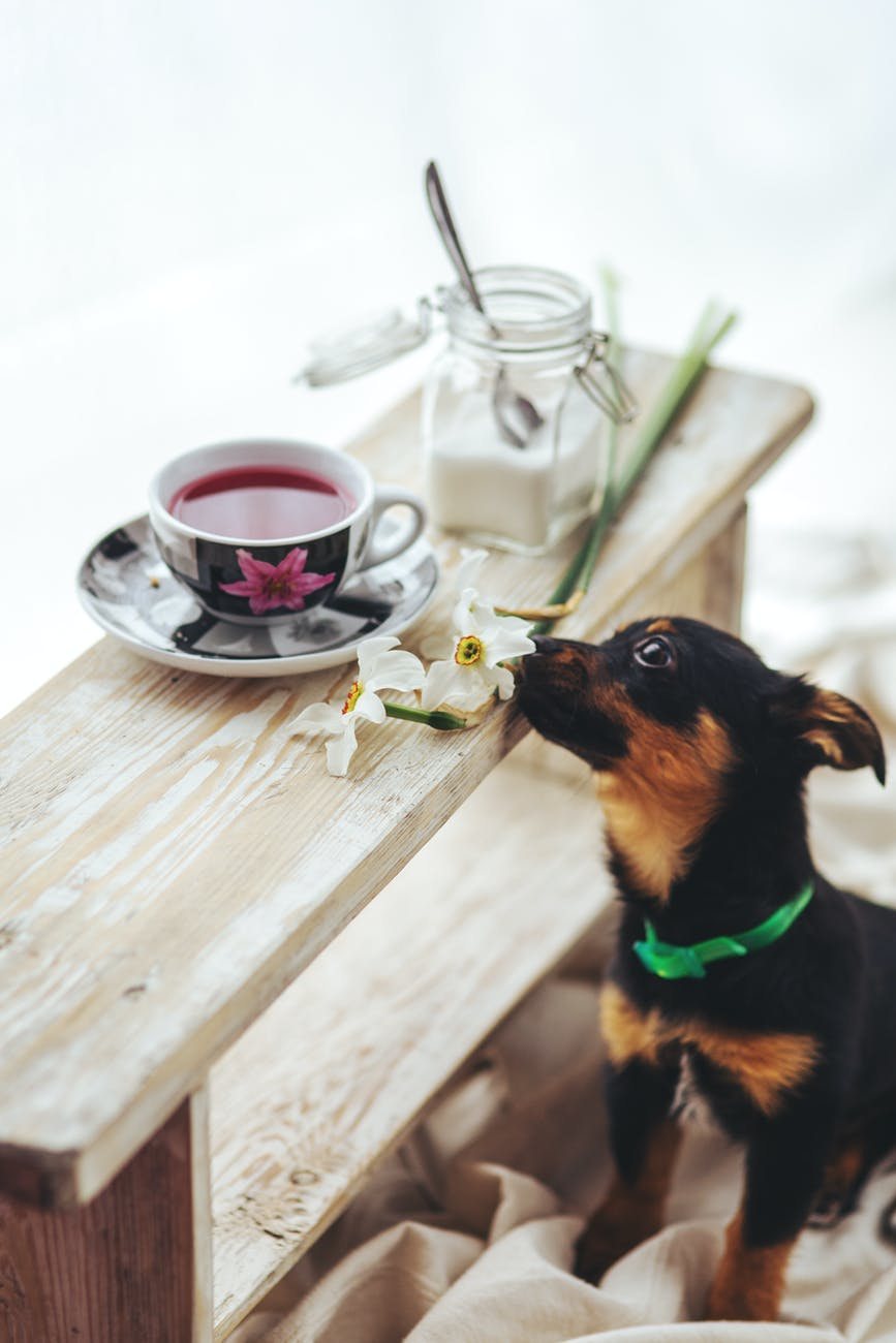dog at table reaching with nose toward tea cup