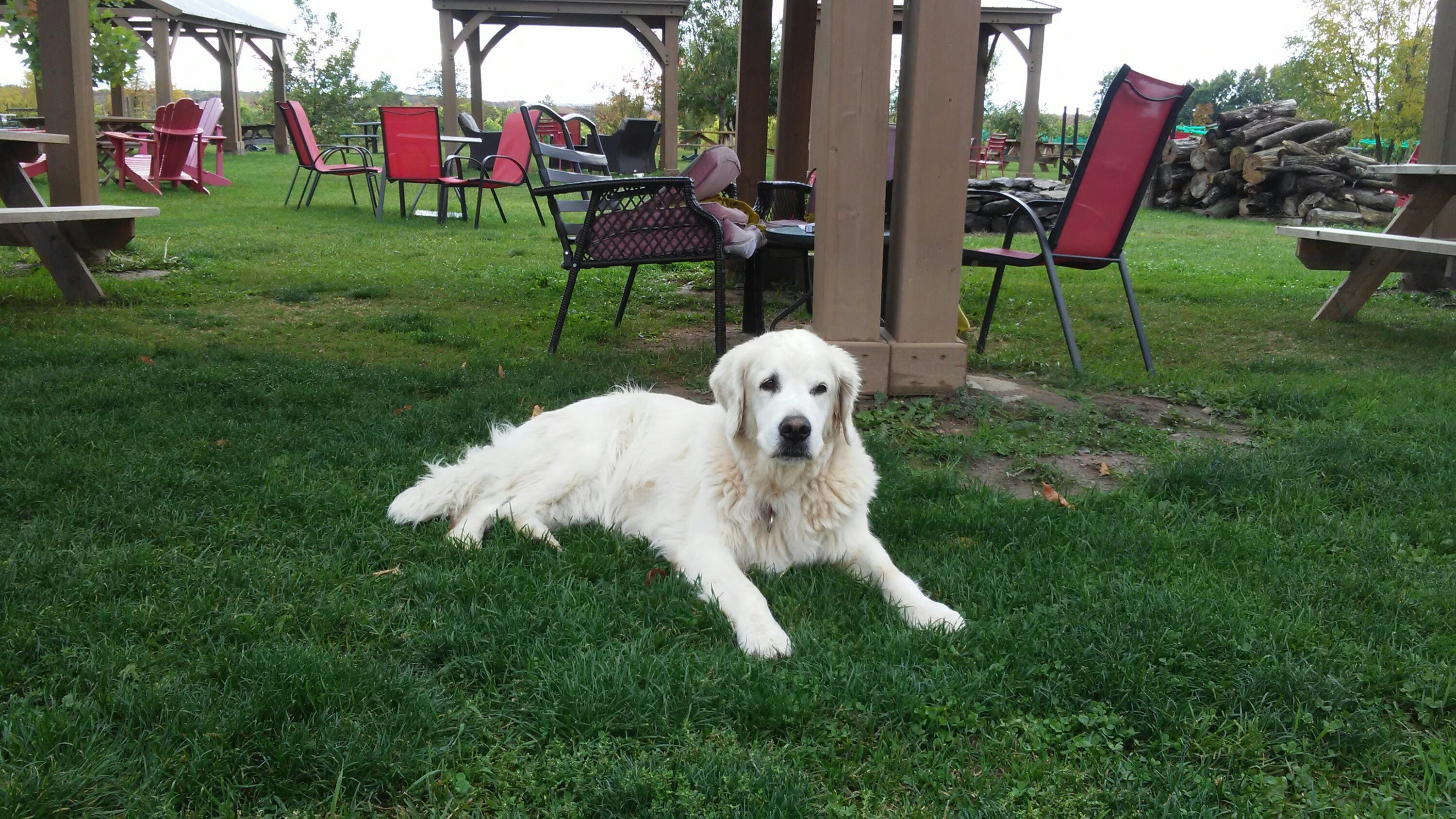 Golden Retriever at Three Dog Winery Outside