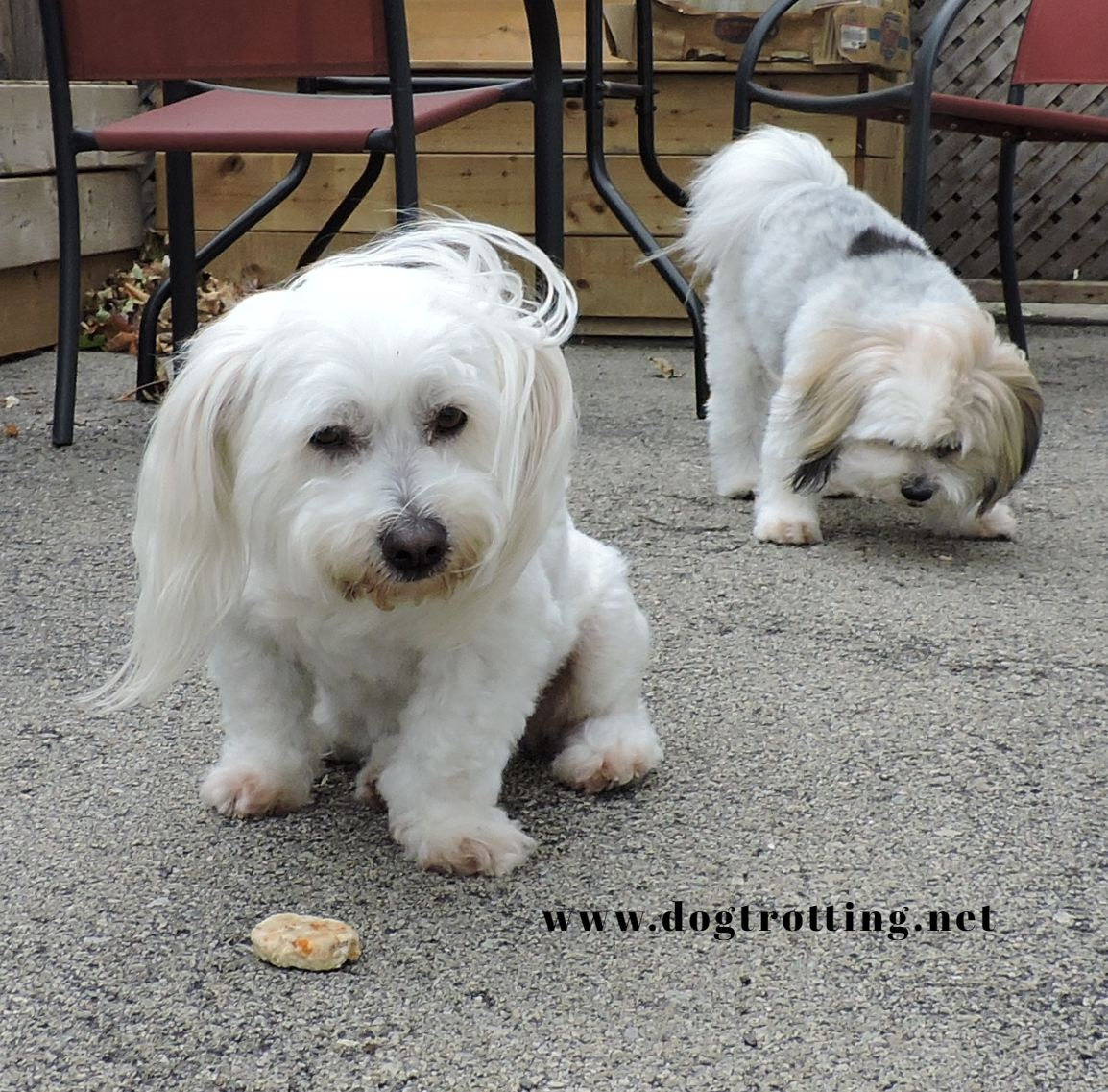 two white dogs outside eating dog treats