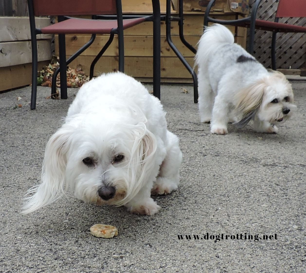 two little white dogs outside eating dog treats
