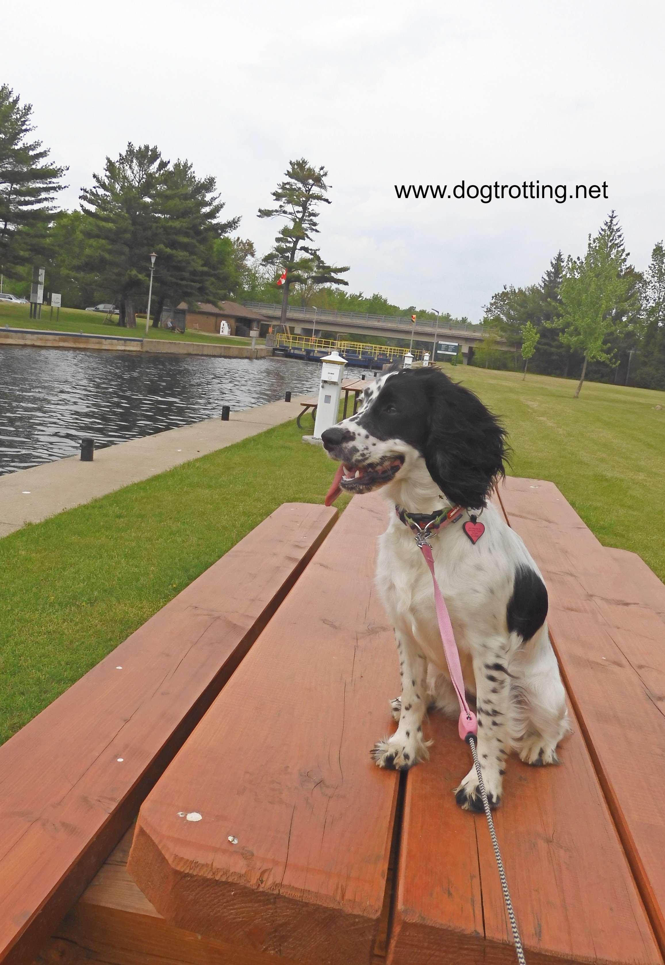 black and white dog along Lock 31 Buckhorn Trent Waterway