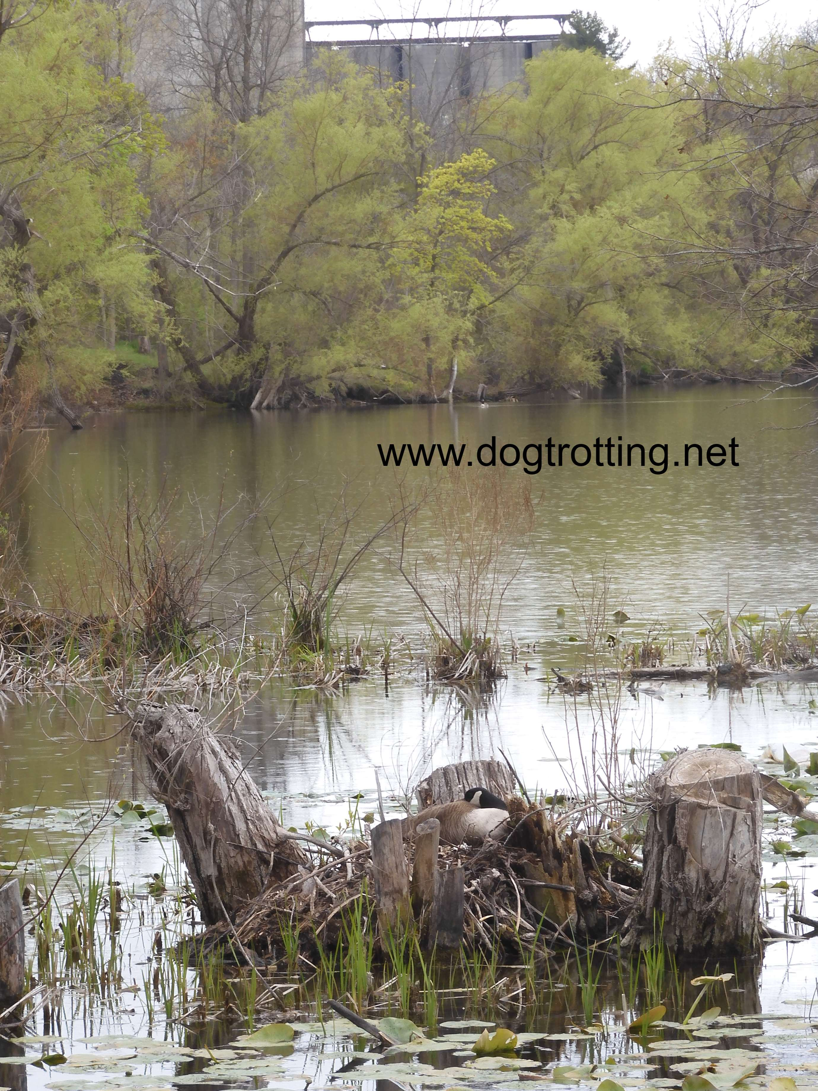 Nesting Ducks along Shadow Lake Trail, Waterford, Ontario, Norfolk County