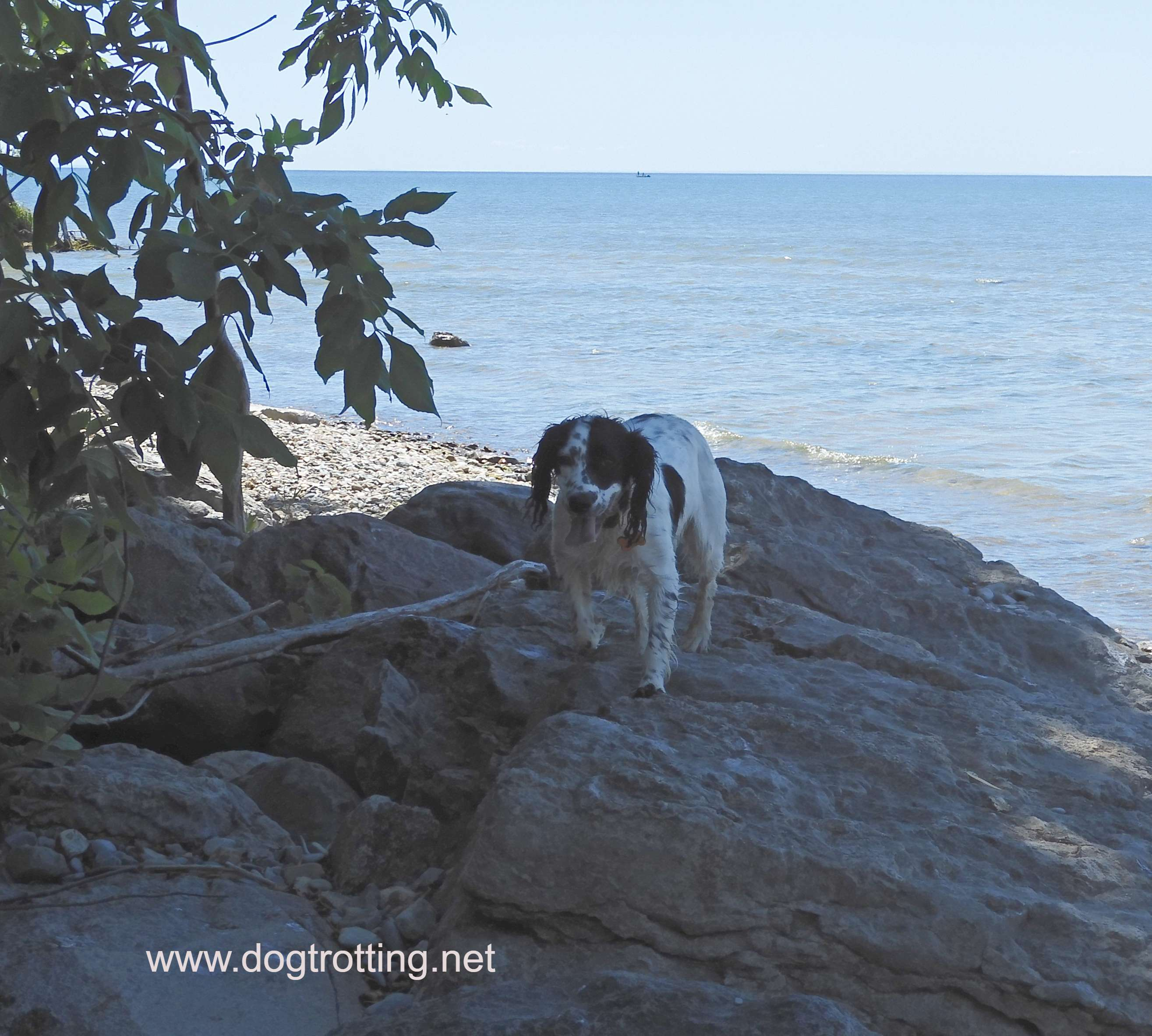 small white and black dog standing on a rock at the dog beach at Selkirk Provincial Park, Ontario, Canada
