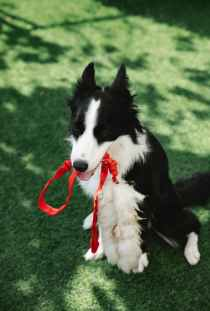 funny fluffy dog with red leash in mouth