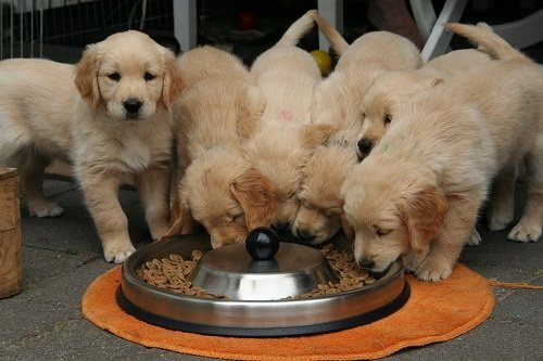 pups eating the best dog food for allergies