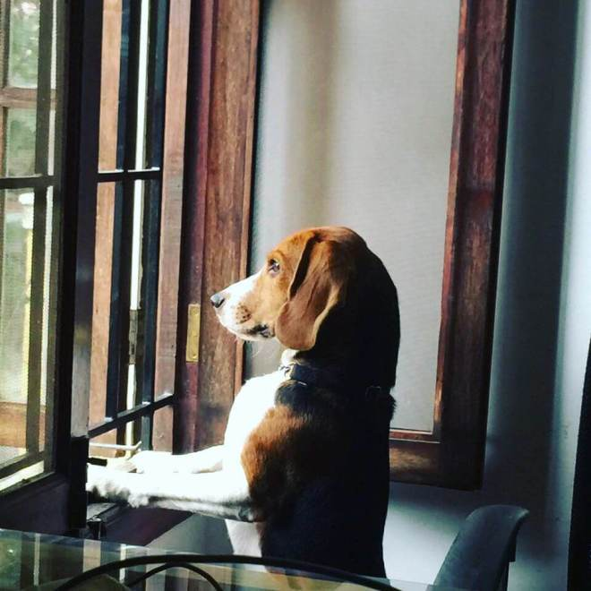 bangalore adoption beagle