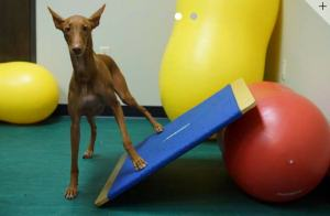 Dog standing with it's right legs on the floor and it's left legs on an angled obstacle.