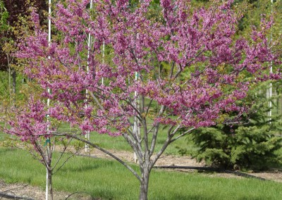 Ace of Hearts Redbud