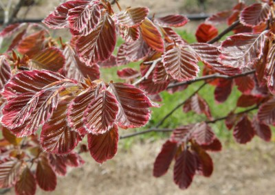 Weeping Purple Beech
